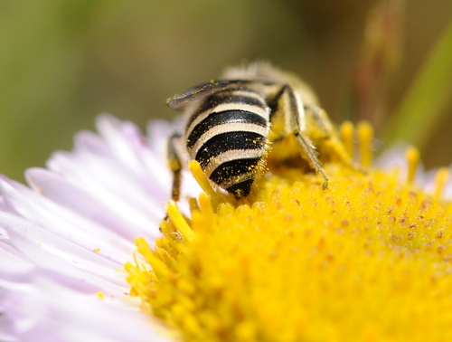 PARDON MY POLLEN--A female Colletes fulgidus longiplumosus, her abdomen covered with pollen, forages on a seaside daisy (Erigeron) at Bodega Head, Sonoma County. (Photo by Kathy Keatley Garvey)