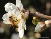 A honey bee pollinating an almond blossom. (Photo by Kathy Keatley Garvey)