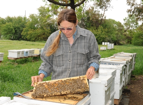BEE BREEDER-GENETICIST Susan Cobey, manager of the Harry H. Laidlaw Jr. Honey Bee Research Facility,  UC Davis, will be one of the speakers at the Western Apicultural Society meeting.  Husband Tim Lawrence, formerly of UC Davis and now of Washington State University, will speak on colony collapse disorder. (Photo by Kathy Keatley Garvey)