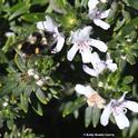 A black-tailed bumble bee, Bombus Bombus melanopygus, foraging on Westringia in Vallejo. (Photo by Kathy Keatley Garvey)