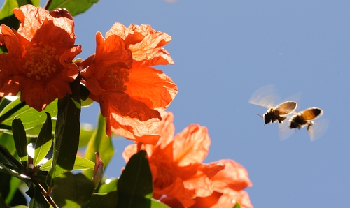 BEE SQUAD heads for pomegranate blossoms. Next week, June 21-27 is the fourth annual National Pollinator Week. California has some 29,000 acres of pomegranates. (Photo by Kathy Keatley Garvey)