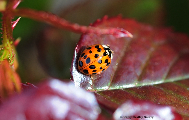 Dorsal view of a multicolored Asian lady beetle on a rose bush. (Photo by Kathy Keatley Garvey)