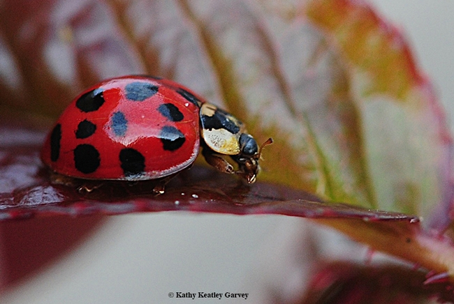 A lady beetle gobbling an aphid. (Photo by Kathy Keatley Garvey)