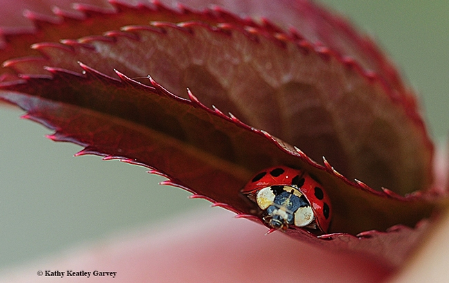 Peek-a-boo! A lady beetle peers between a folded rose leaf. (Photo by Kathy Keatley Garvey)