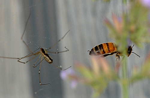 A SPIDER heads toward a honey bee trapped in its web. A flick of the web (by the photographer) and no meal for the spider. (Photo by Kathy Keatley Garvey)