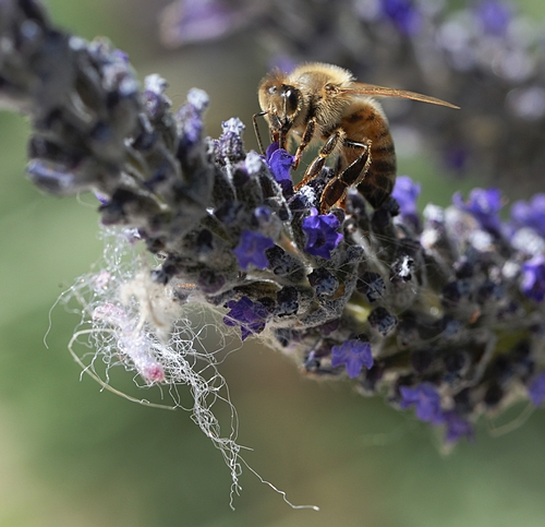 SIMPLE ACT of foraging can result in danger for the honey bee. This bee is nectaring lavender. (Photo by Kathy Keatley Garvey)