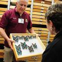 Entomologist Jeff Smith, who curates the butterfly and moth display at the Bohart, shows South American rainforest butterflies, Preponas, in the genus Archaeoprepona to butterfly-bee enthusiast Ria deGrassi of Davis. (Photos by Kathy Keatley Garvey)