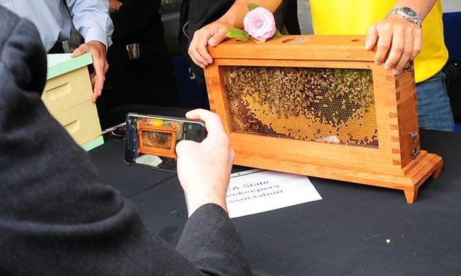 A visitor photographs the Harry H. Laidlaw Jr. observation hive at California Agriculture Day. (Photo by Kathy Keatley Garvey)