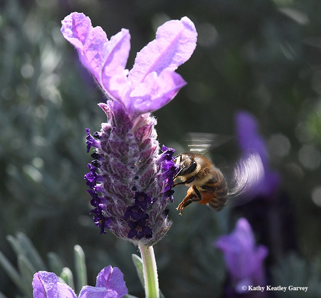 A honey bee nectaring on Spanish lavender. This was taken with a Nikon D500 and a 200mm macro lens. Settings: ISO 3200, f-stop 13, and shutter speed of 1/640 of a second. No flash. (Photo by Kathy Keatley Garvey)