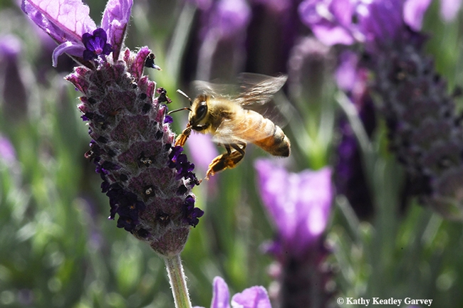 Honey bee cleaning her tongue, just before heading for more nectar from the Spanish lavender. (Photo by Kathy Keatley Garvey)