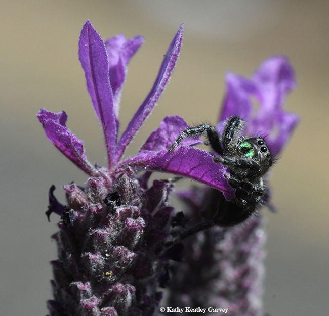 The jumping spider, Phidippus audax, climbs its mountain and lurks. (Photo by Kathy Keatley Garvey)