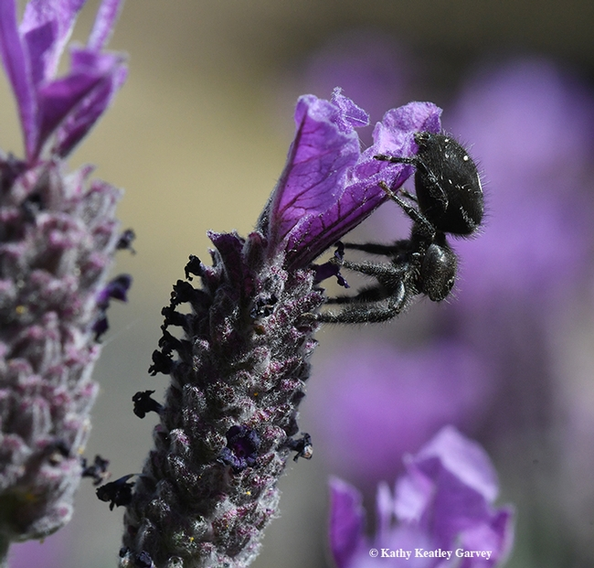 The jumping spider, Phidippus audax, exits its summit, the Spanish lavender. (Photo by Kathy Keatley Garvey)
