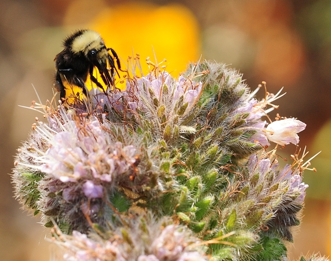 A bumble bee, Bombus vandykei, foraging on phacelia in Davis, Calif. (Photo by Kathy Keatley Garvey)