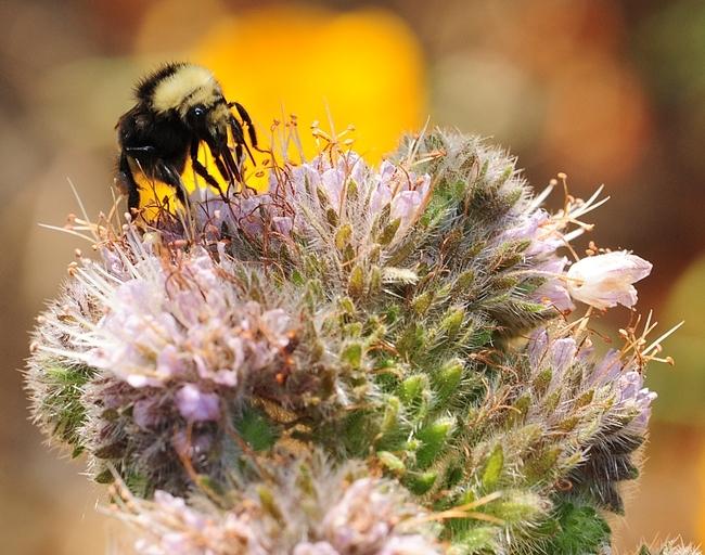 A bumble bee, Bombus vandykei, foraging on phacelia in Davis, Calif. (Photo by Kathy Keatley Garvey)