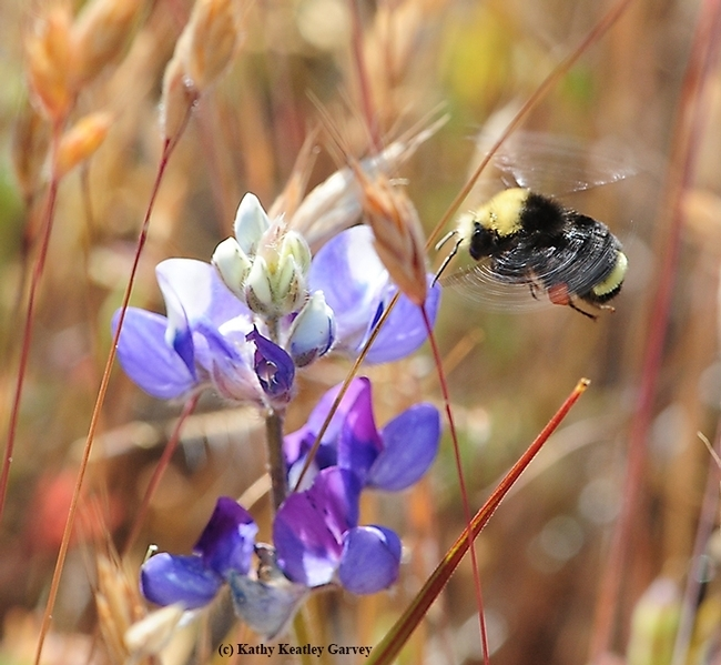 The yellow-faced bumble bee, Bombus vosnesenskii, foraging on lupine in Carmel. (Photo by Kathy Keatley Garvey)
