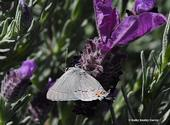 Gray hairstreak, Strymon mellinus, nectaring on lavender in Vacaville, Calif. in April. (Photo by Kathy Keatley Garvey)