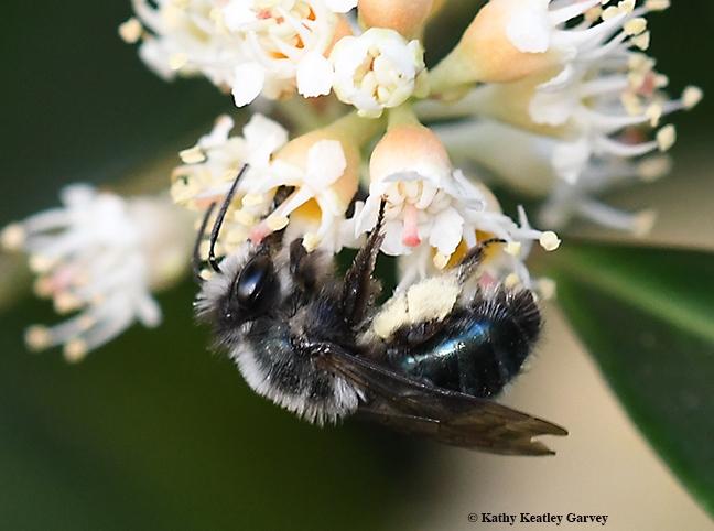 Andrena nigrocaerulea foraging in the cherry laurels in Vacaville, Calif. (Photo by Kathy Keatley Garvey)