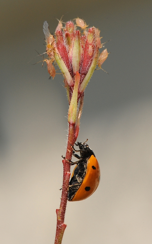 A LADYBUG crawls up a gaura to snack on aphids. (Photo by Kathy Keatley Garvey)
