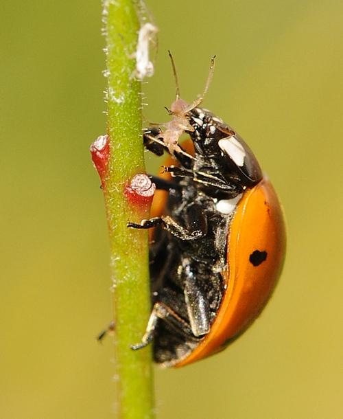 LADYBUG devours an aphid on a gaura. (Photo by Kathy Keatley Garvey)