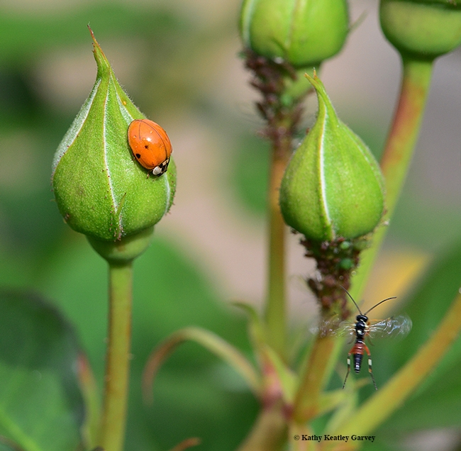 The lady beetle continues to patrol the rosebud, while the male parasitic wasp quickly leaves the scene. (Photo by Kathy Keatley Garvey)