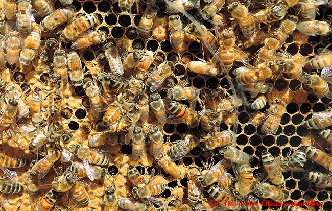 Honey bees at work in the UC Davis bee observation hive, to be displayed April 22 in Briggs Hall during the 103rd annual UC Davis Picnic Day. (Photo by Kathy Keatley Garvey)