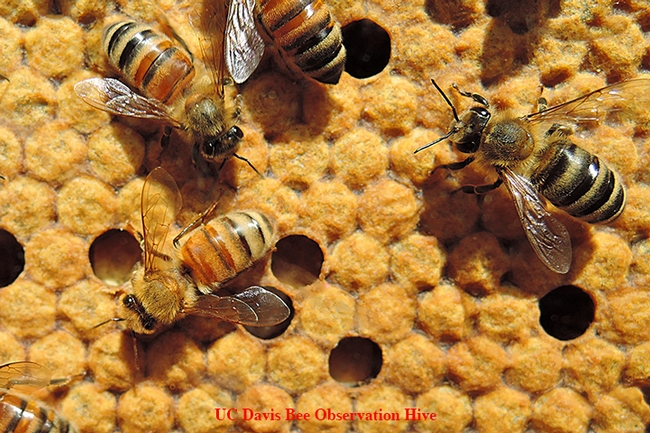 You can learn the ABCs of honey bees at Briggs Hall on Saturday, April 22, during the UC Davis annual Picnic Day. These bees are from a UC Davis bee observation hive. (Photo by Kathy Keatley Garvey)