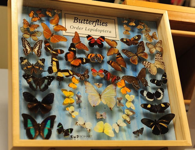There will be lots to see during Picnic Day at the Bohart Museum of Entomology. These butterflies are among the museum's nearly 8 million insect specimens. (Photo by Kathy Keatley Garvey)