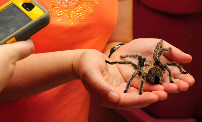 A visitor at the Bohart Museum takes an image of a tarantula. (Photo by Kathy Keatley Garvey)
