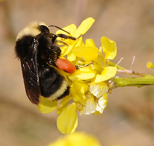 Foraging Bumble Bee