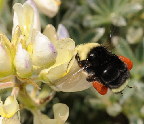 SADDLEBAGS--This yellow-faced bumble bee at Bodega Bay is packing pollen from lupine (Lupinus). (Photo by Kathy Keatley Garvey)