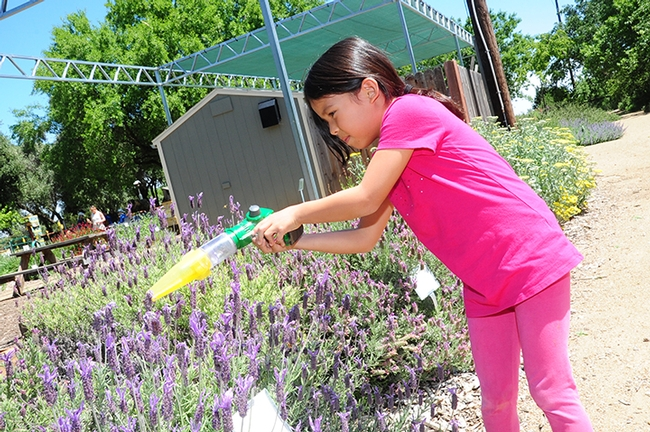 Chloe Jerng, 8, of Davis, who is doing research on bees for a school project, scoops up a honey bee in a catch-and-release device  for up-close observation.