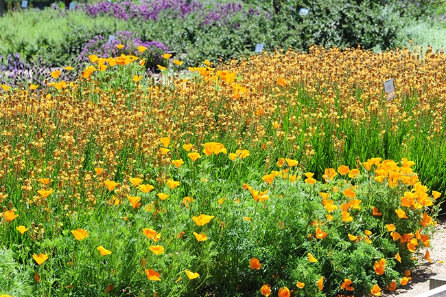 California golden poppies, the state flower, glow at the Häagen-Dazs Honey Bee Haven.