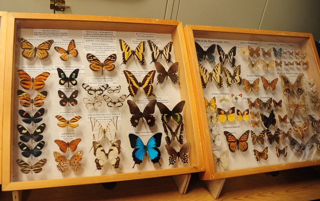 Butterflies from the Bohart Museum of Entomology are sure to draw attention at the Dixon May Fair. (Photo by Kathy Keatley Garvey)