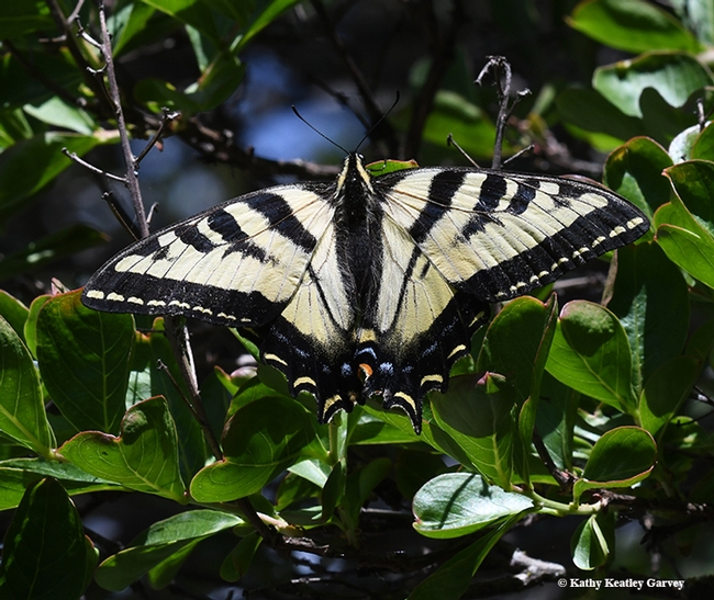 A Western tiger swallowtail, Papilio rutulus,warms its flight muscles on a crape myrtle tree. (Photo by Kathy Keatley Garvey)