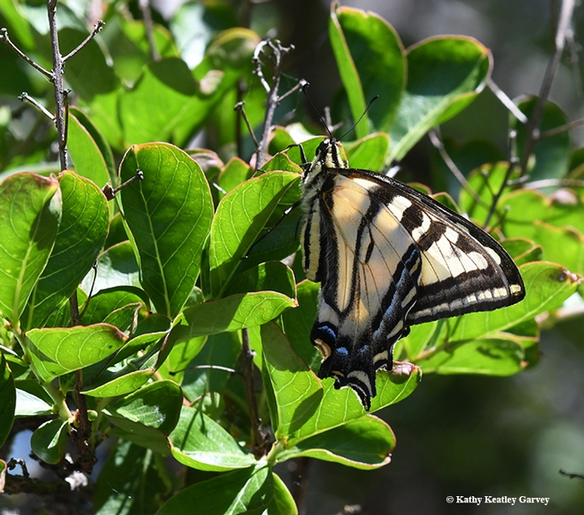 The Western tiger swallowtail folds its wings. (Photo by Kathy Keatley Garvey)