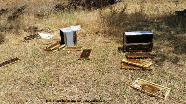 A bear wreaked havoc in this bee yard. (Photo courtesy of Jackie Park-Burris, Palo Cedro)