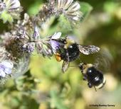It's mine--move away! Two bumble bees, species Bombus vandykei, seek the same Phacelia blossom on the UC Davis central campus. (Photo by Kathy Keatley Garvey)