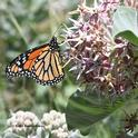 A monarch on milkweed in the UC Davis Arboretum. (Photo by Kathy Keatley Garvey)
