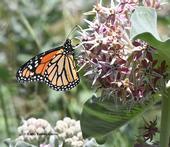 A monarch on milkweed in the UC Davis Arboretum. (Photo by Kathy Keatley Garvey)