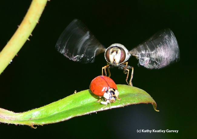 Touchdown! The large syrphid fly, Scaeva pyrastri, lands next to the lady beetle.(Photo by Kathy Keatley Garvey)