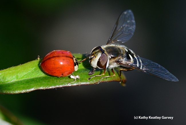 The syrphid fly licks honeydew from the lady beetle. (Photo by Kathy Keatley Garvey)