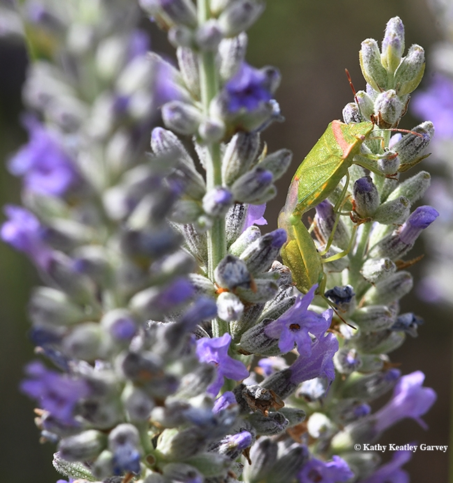 Find the redshouldered stink bugs in the lavender. (Photo by Kathy Keatley Garvey)