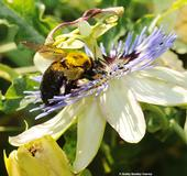 Gold dust? No, this is pollen covering the thorax of this female Valley carpenter bee, Xylocopa varipuncta, nectaring on the passionflower vine (Passiflora). (Photo by Kathy Keatley Garvey)