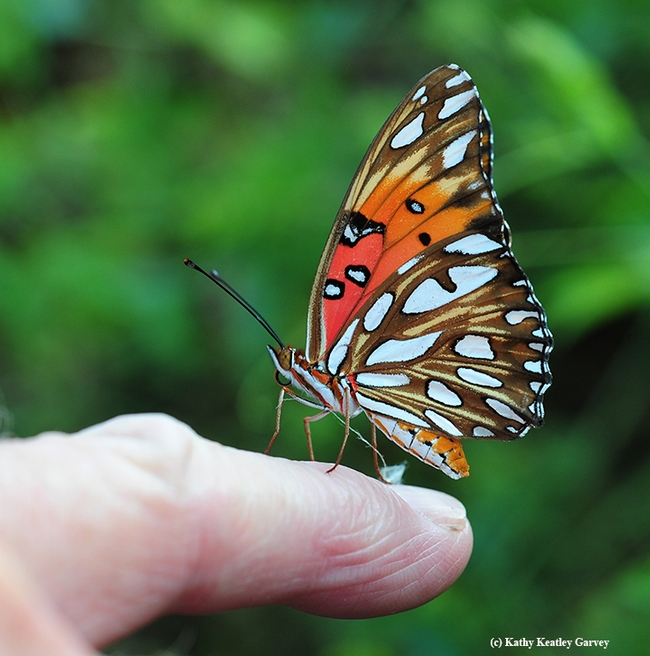 Close-up of the Gulf Fritillary. Its host plant is the passionflower vine, Passiflora. (Photo by Kathy Keatley Garvey)