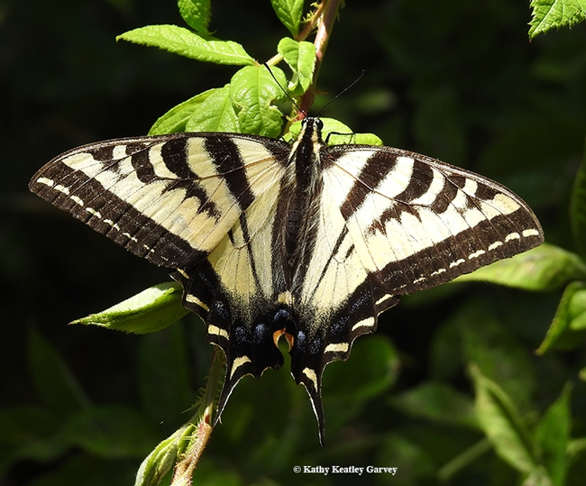 A Western tiger swallowtail (Papilio rutulus) spreads its wings on the grounds of the Benicia State Capitol. (Photo by Kathy Keatley Garvey)