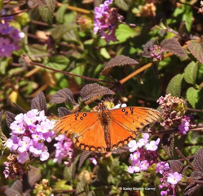 A Gulf Fritilliary (Agraulis vanillae) nectars on lantana on the grounds of the Benicia State Capitol. (Photo by Kathy Keatley Garvey)
