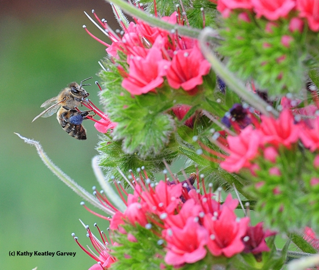 A honey bee packing blue pollen as it forages on the tower of jewels, Echium wildpretii. (Photo by Kathy Keatley Garvey)