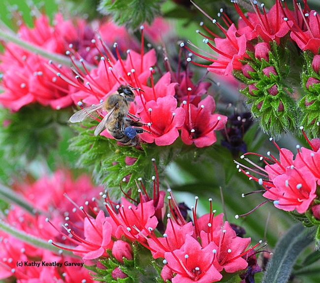 This foraging honey bee can't get enough of the tower of jewels, Echium wildpretii. (Photo by Kathy Keatley Garvey)