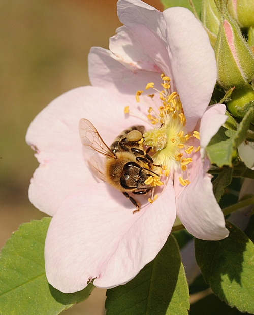 CLOSE-UP of a honey bee savoring a wild rose in the Häagen-Dazs Honey Bee Haven. (Photo by Kathy Keatley Garvey)