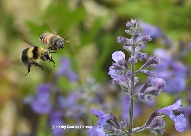 A honey bee and a bumble bee, Bombus melanopygus, head for the same patch of lavender. This image was taken in Vacaville, Calif. (Photo by Kathy Keatley Garvey)